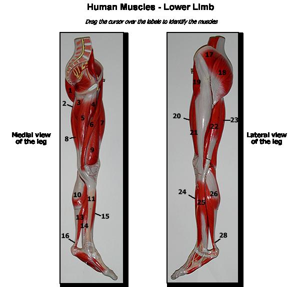 Human Anatomy & Physiology 1